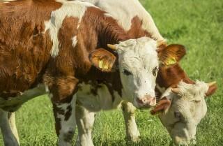 Vacas interrumpen una transmisión en vivo