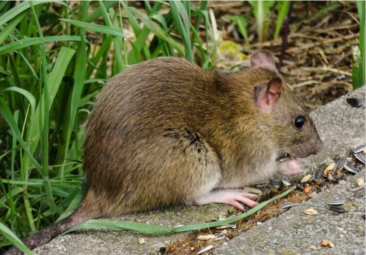 Rata roba dispositivo GPS  de una mascota