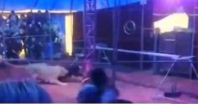 Leona atacó a su domador en un show de circo.JPG