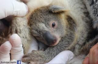 koala bebe australia.jpg