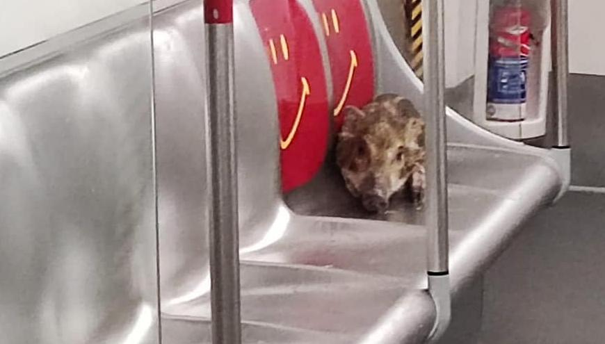 Jabalí en metro de Hong Kong