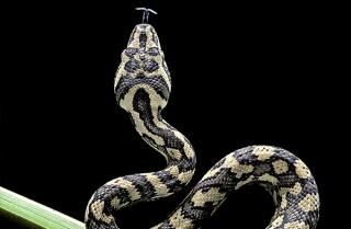 Serpiente con dos cabezas