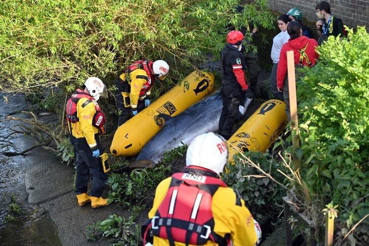 ballena varada en el rio támesis de londres .jpg