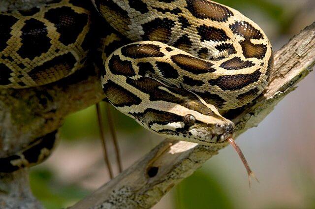 serpiente-piton.jpg
