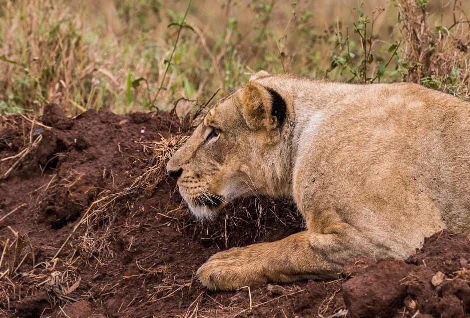 Leonas mataron a guía en Sudáfrica y las sacrificaron