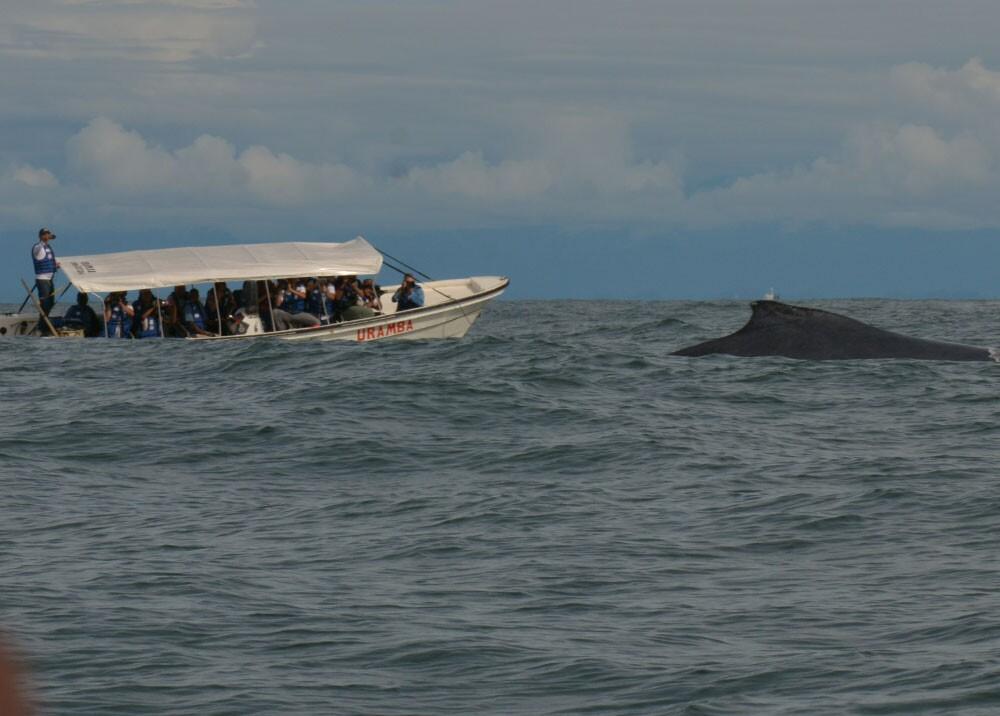 avistamiento de ballenas jorobadas yubartas en el pacifico foto mario baos.jpg