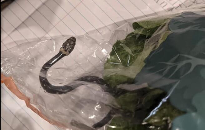 Encuentran serpiente en bolsa de lechuga.jpg