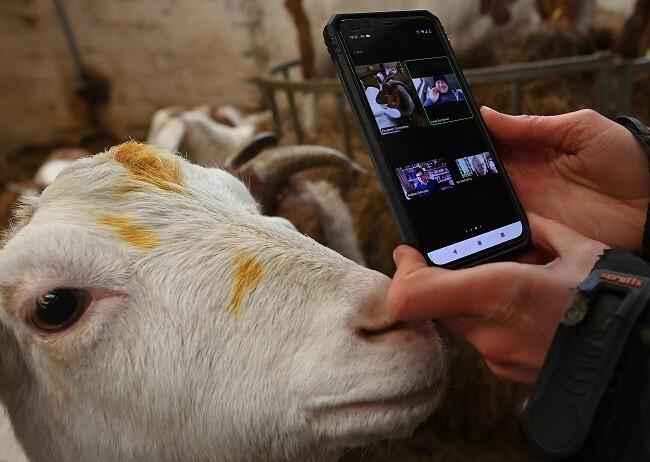 cabras videollamadas
