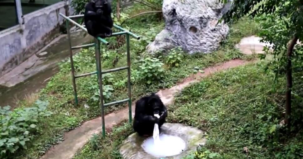 367614_chimpance970.jpg