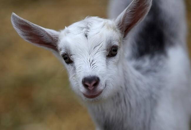 cabra atrapada en tubería