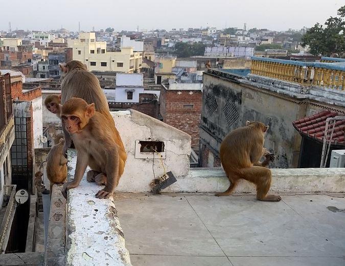 mujer cae al huir de monos en India