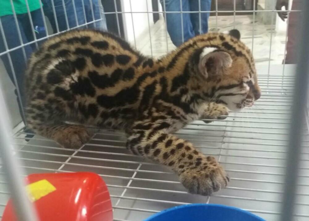 289499_Blu Radio / Autoridades rescatan leopardo ocelote en Buenaventura, Valle / Foto: Cortesía Policía