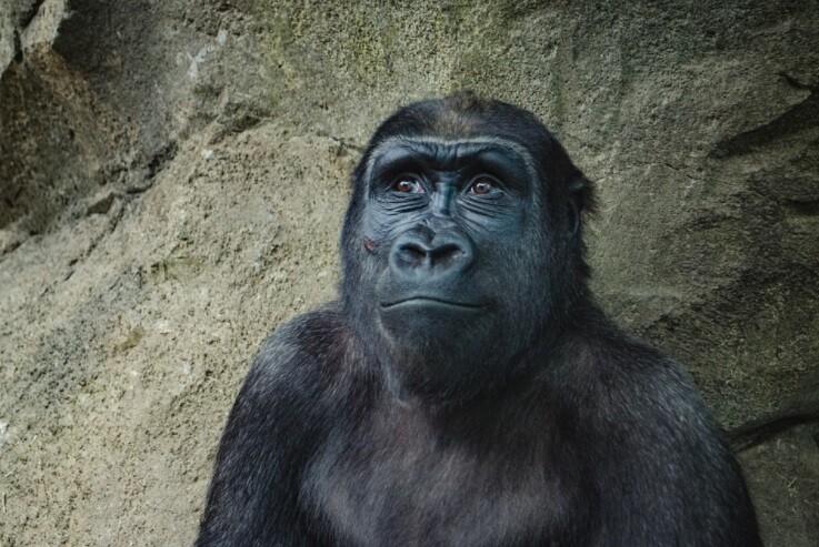 Usuarios en Reddit adoptaron 3.500 gorilas