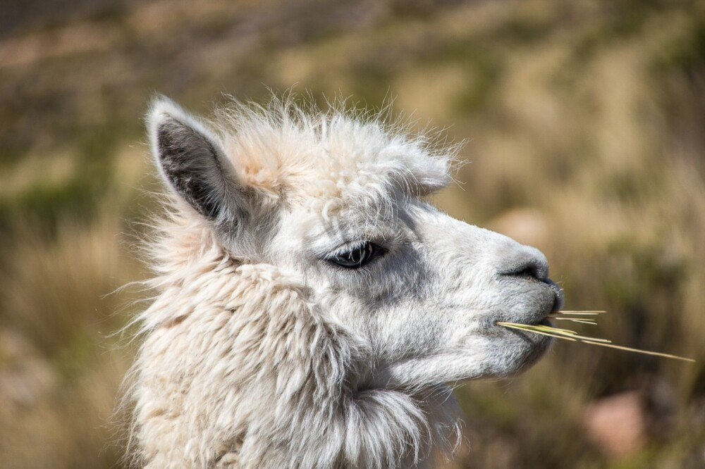Un lugar de dulce compañía y aire puro: así es este paraíso de alpacas en Noruega