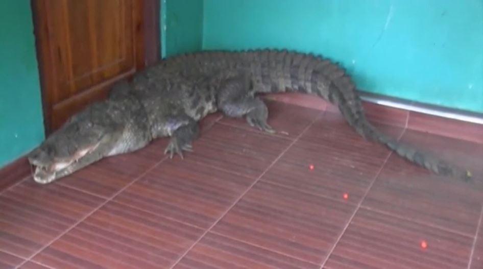 enorme cocodrilo en una casa de Sri Lanka