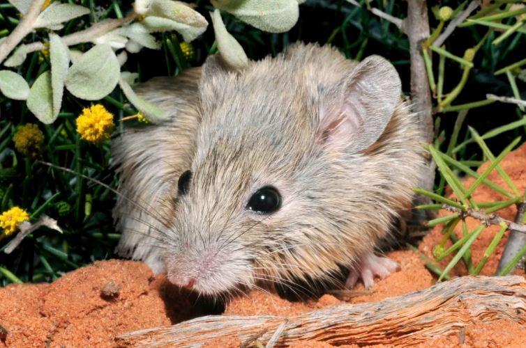raton australiano extinto hace 150 años