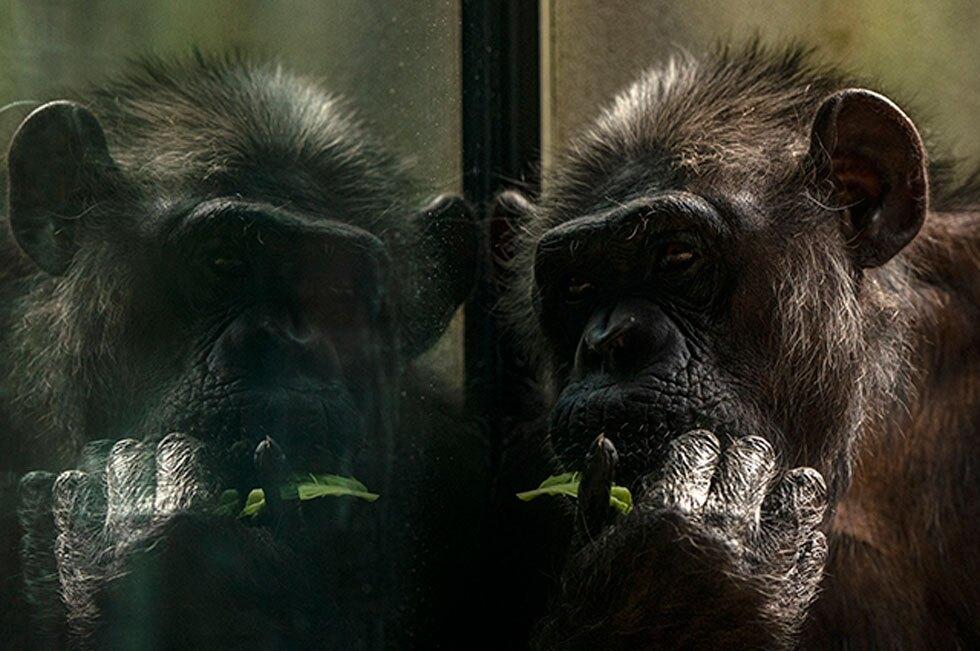 """Por """"pasarse de cariñosa"""" con un chimpancé, mujer es vetada de un zoológico"""