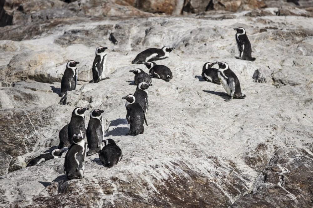 pinguinos africanos