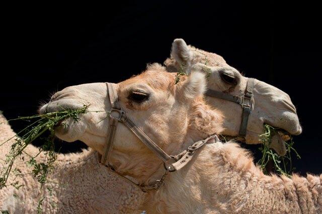 camellos.jpg