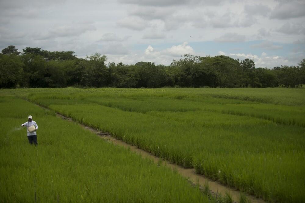Producción de arroz en Colombia