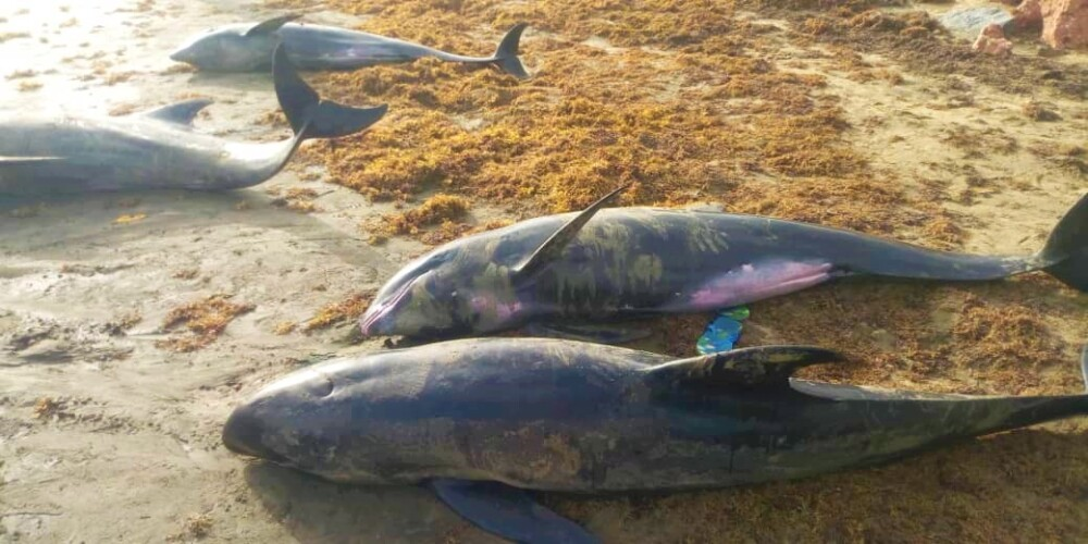 Encuentran 60 delfines muertos en Ghana